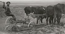 1918 farming with ox.